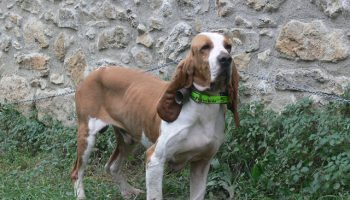 sabueso_espanol-_razas_de_perro-_petclic.com_2