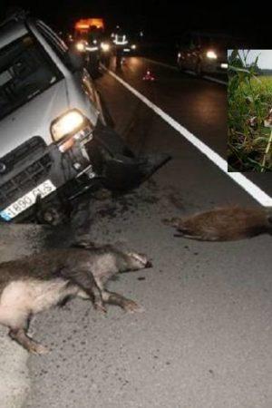 en-la-a-1-con-un-jabali-domingo-noche-asi-son-los-accidentes-causados-por-animales